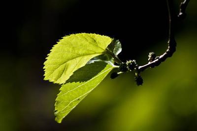 桑叶泡水喝的功效都有哪些 服用桑叶茶应该注意些什么图片