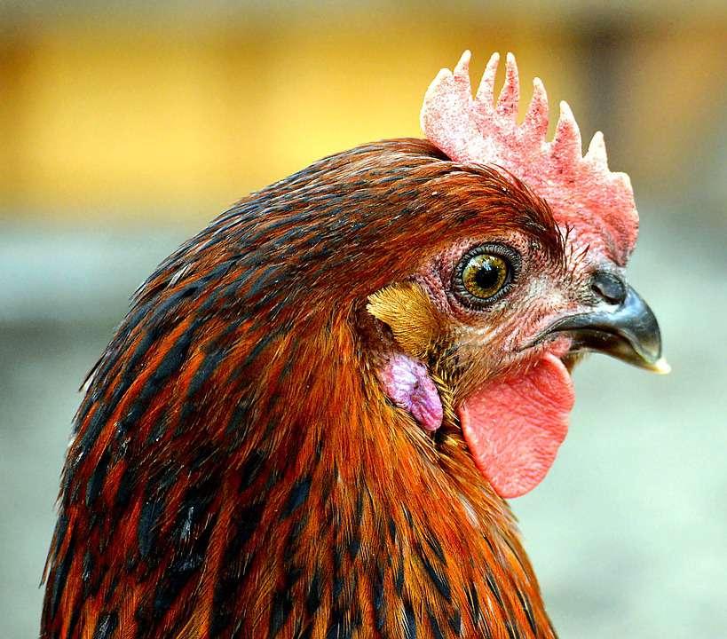 禽流感的知识大全预防禽流感的方法